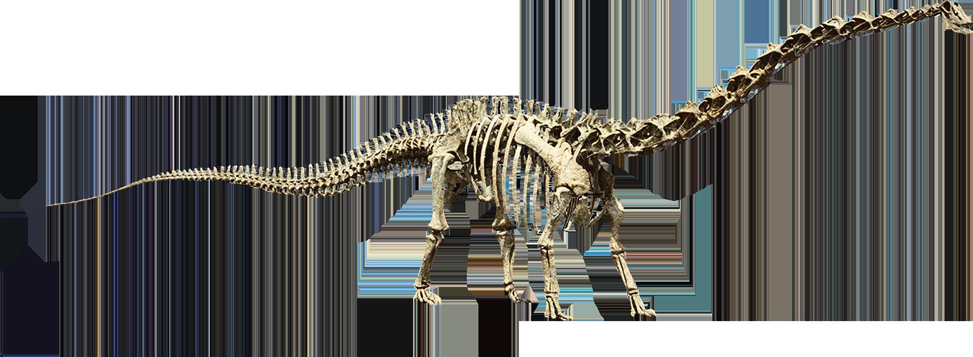 Seismosaurusclean Png 1920 706 Dinosaur Skeleton Dinosaur Skull
