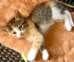 Adopt Sassy Adoption Pending On Calico Cat Cute Animals Cats