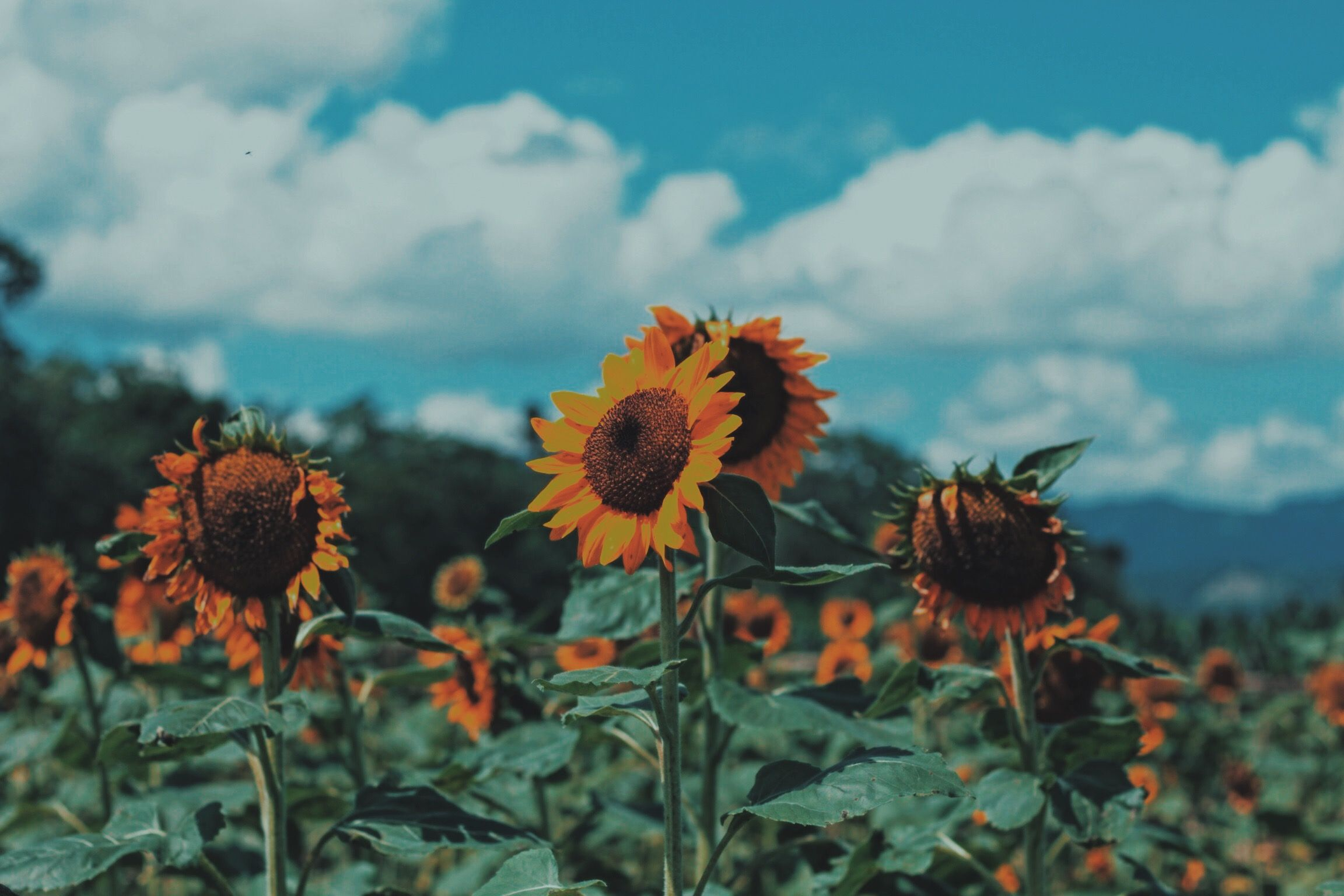 Tupi, South Cotabato, Philippines Sunflowers
