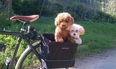 """Are we there yet?"" Toy poodles on a bike ride!"