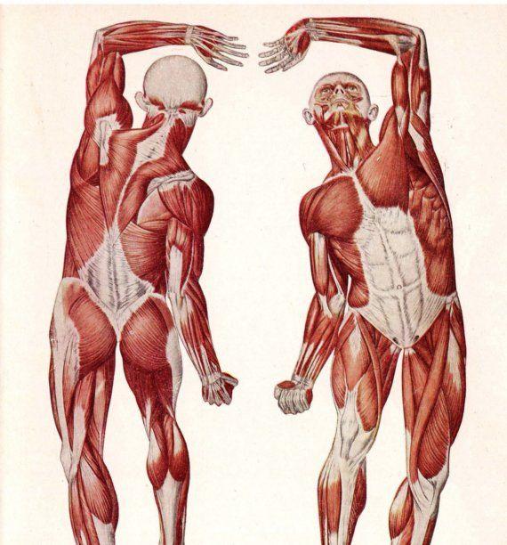 1947 Medical Anatomy Illustration Nice Bum, Guy. The Muscle-Man ...