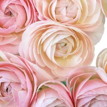 Light Pink Designer Japanese Ranunculus Flower - 40 stems