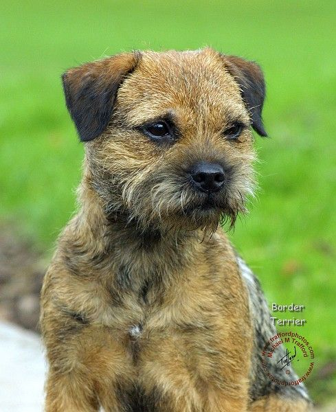 Border Terrier dog art portraits, photographs, information