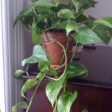 plante verte liane