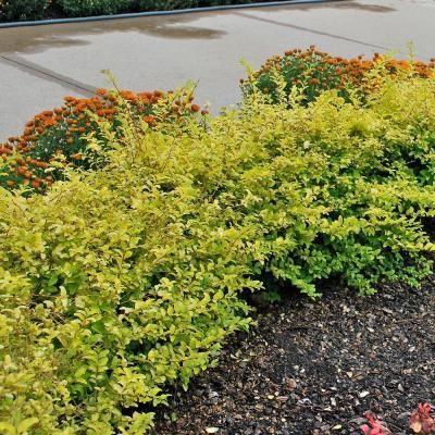 Southern Living Plant Collection 1 Gal Sunshine Ligustrum 3953q The Home Depot Evergreen Shrubs Sunshine Ligustrum Evergreen Landscape