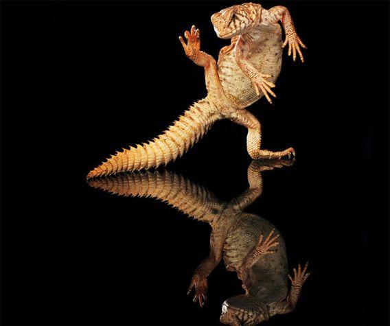 踊るヤモリ ヤモリの超かっこいい画像 カラパイア ヤモリ トカゲ ペット トカゲ