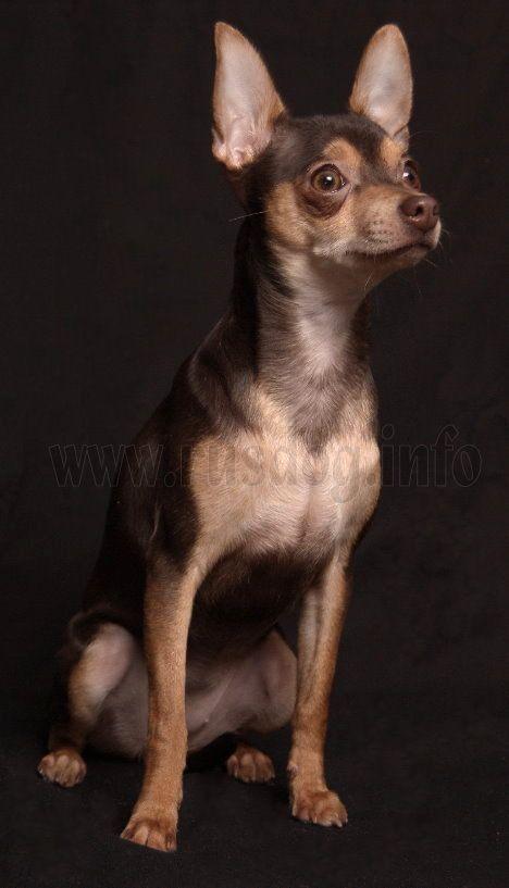 Russischer Toy Russkiy Toy Mini Hund Kleine Hunde Bild Foto Kleine Hunde Hunde Terrier