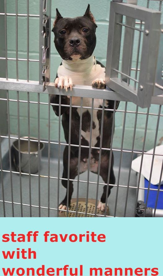 """SAFE 3/7/15 ***FINAL HOURS FOR VOLUNTEER FAVORITE SKYLAR"""" SWEET, WIGGLY, KISSY 2yr old SKYLAR will probably think she is going out to play when the vile euth tech comes to get her today. Sadly, another ADOPTABLE DOG is on the KILL LIST TODAY - MONDAY, MARCH 2. She is located at the New York City Animal Care and Control - Brooklyn Center (NY). SKYLAR needs a FOSTER OR ADOPTER NOW! https://www.facebook.com/photo.php?fbid=1543725939248187&set=a.1518050338482414.1073741829.100008323877636&type=1"""
