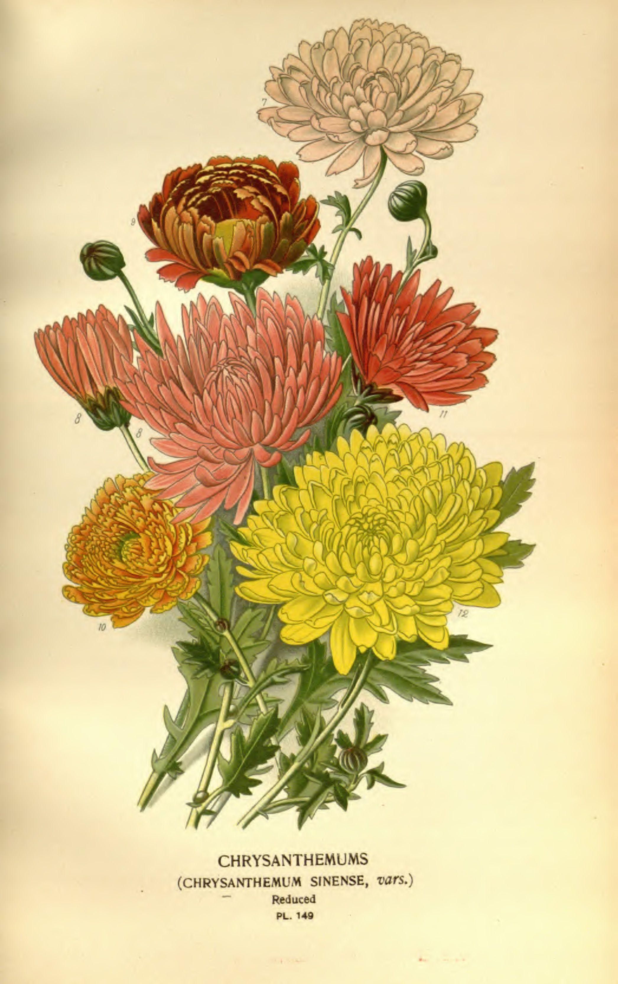 Chrysanthemum 148 Illustration Favourite Flowers Of Garden And Greenhouse V02 Edward Step 1896 Botanical Painting Vintage Botanical Prints Flower Drawing