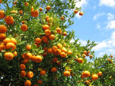 Zone 9 Orange Trees How To Grow Oranges In Zone 9 Usda Zone 9 Gardeners Can Look Forward To A Growing Season That S Growing Citrus Citrus Trees Fruit Trees