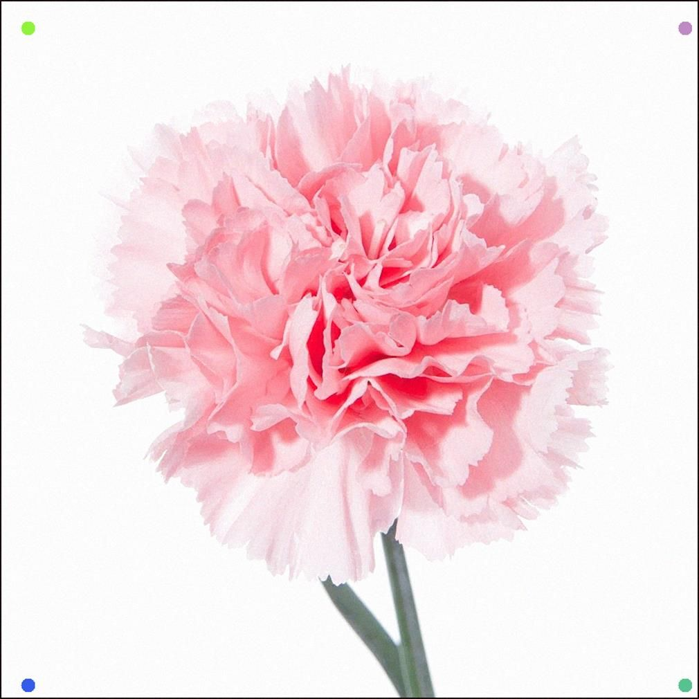 A Beautiful Pink Carnation In 2020 Pink Carnations Carnations Carnation Flower