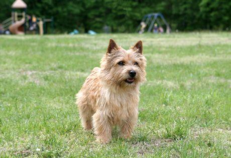 Norwich Terrier Dog Breed Information Norwich Terrier Terrier