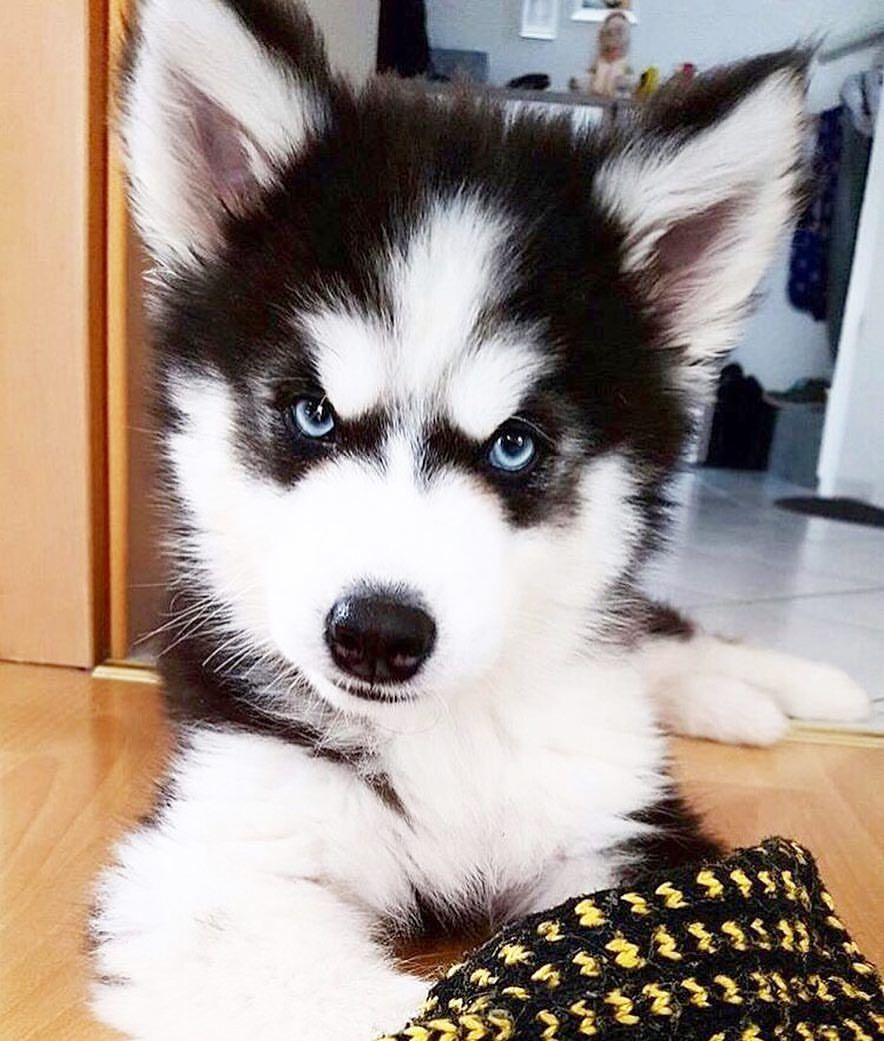 2 152 Likes 24 Comments Malamute And Husky Alaskandaily On