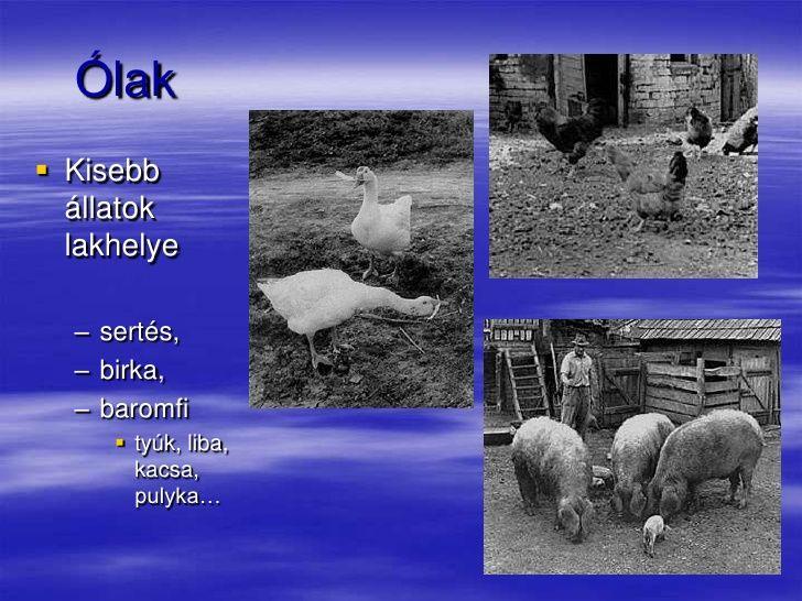 Ólak<br />Kisebb állatok lakhelye<br />sertés,<br />birka,<br />baromfi<br />tyúk, liba, kacsa, pulyka…<br />