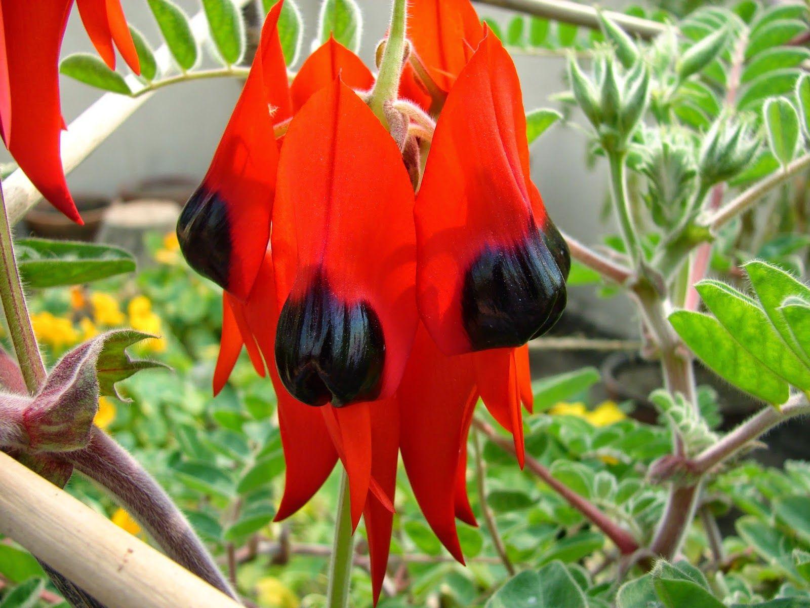 Clianthus Flower The Wonder Flowers Of Kolkata India Planting Flowers Flowers Plants Online