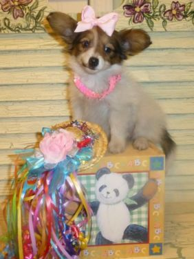 Papillon Akc Dark Sable White Fawn Female See Katy And Her