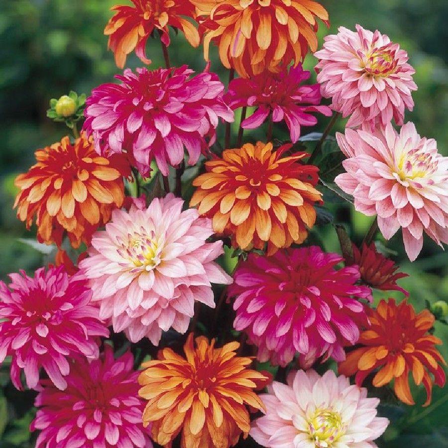 Dahlia Bulbs Gallery Mix Pre Sale Now Ships Spring 2017 Flowers