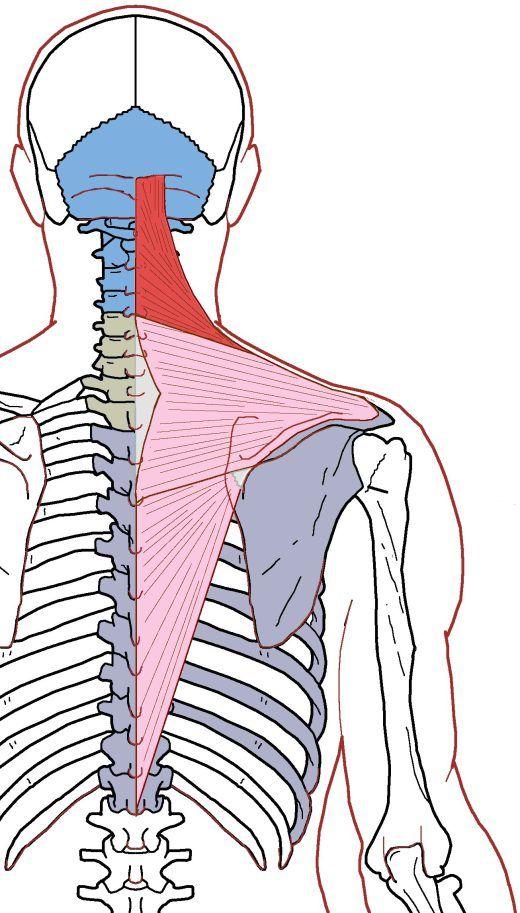 Trapezius Functional Anatomy Pinterest Anatomy Thoracic