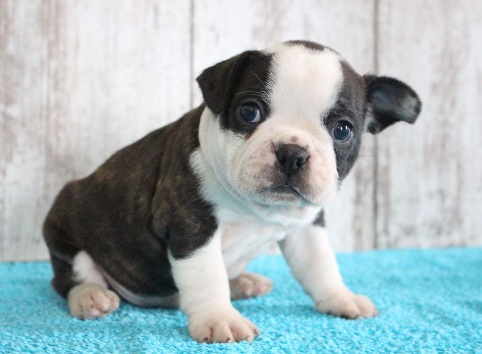 Fulton Puppies Near Me French Bulldog Puppies Puppy Finder