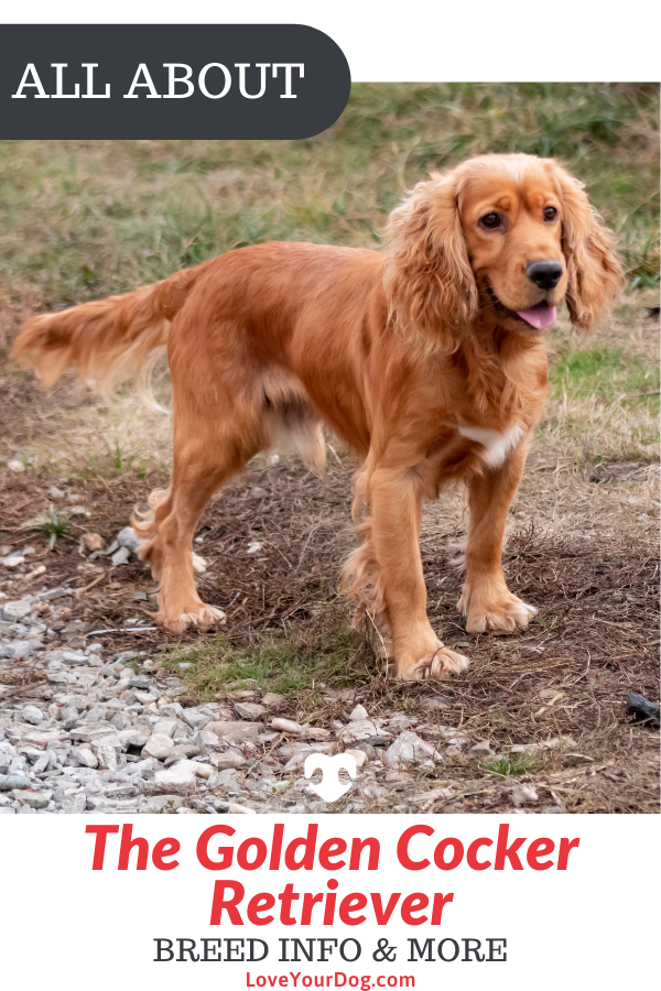Golden Retriever Cocker Spaniel Mix Golden Cocker Retriever 101