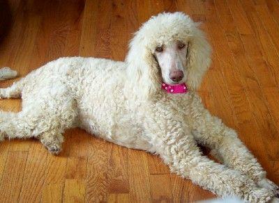 Gracie 6 Month Old Cream Standard Poodle Poodle Standard Poodle