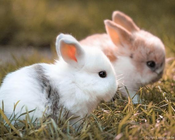 Baby Animal Nursery Art – baby bunny print 8×10 bunnies nursery decor 11×14 farm animal print 16×20