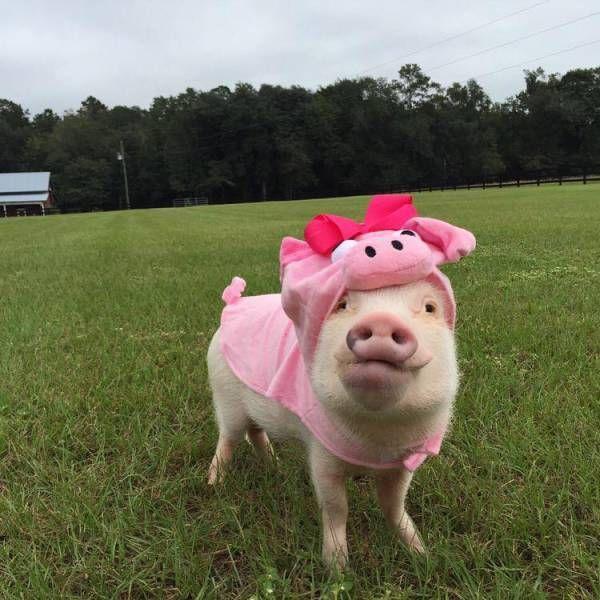 Images insolites et drôles #73 - Breakforbuzz en 2020 | Bébés animaux mignons, Porcs animal de ...