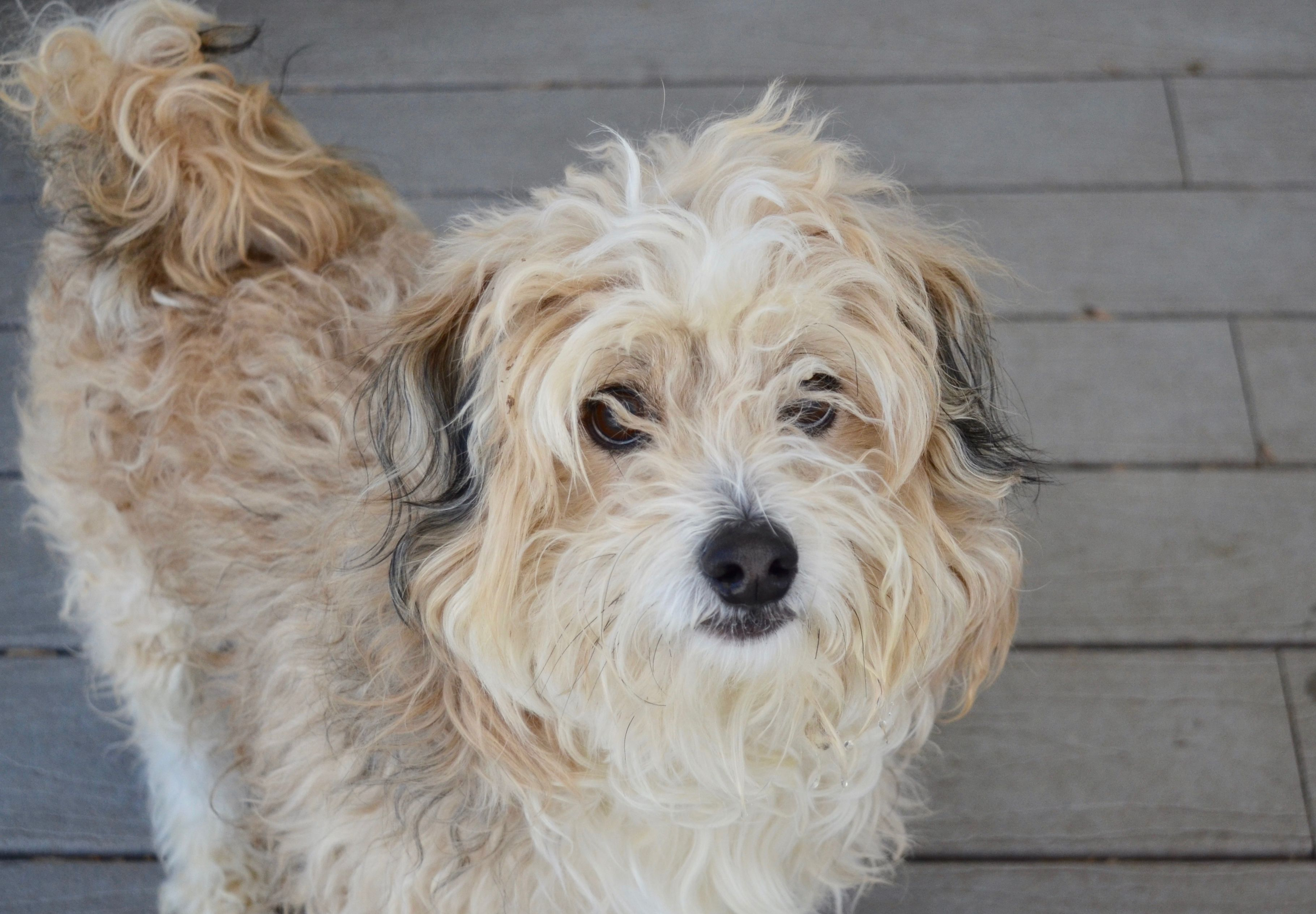 Adopt Drake on (With images) Poodle mix dogs, Shih tzu