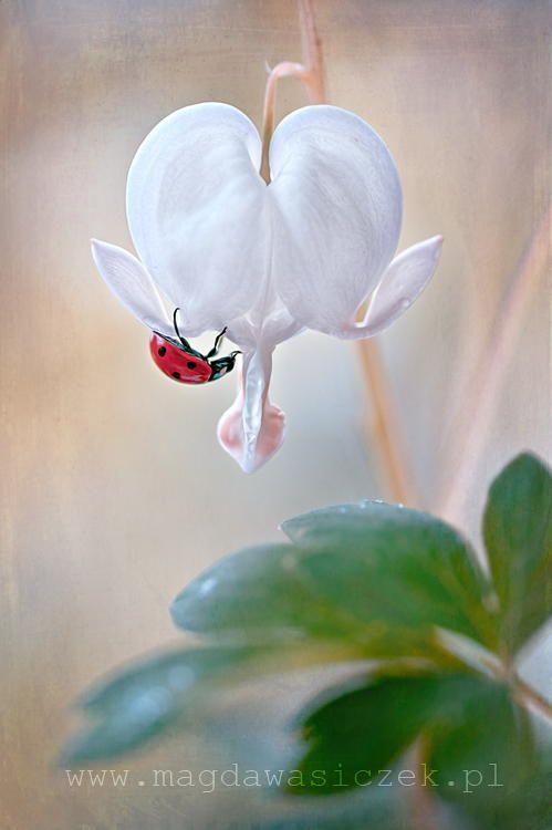By Magda Wasiczek 500px Bleeding Heart Pretty Flowers Bleeding Heart Flower
