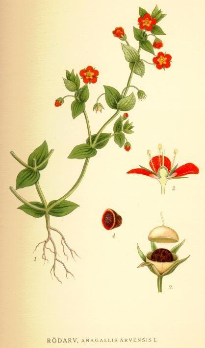 Rood guichelheil - Anagallis arvensis subsp. arvensis