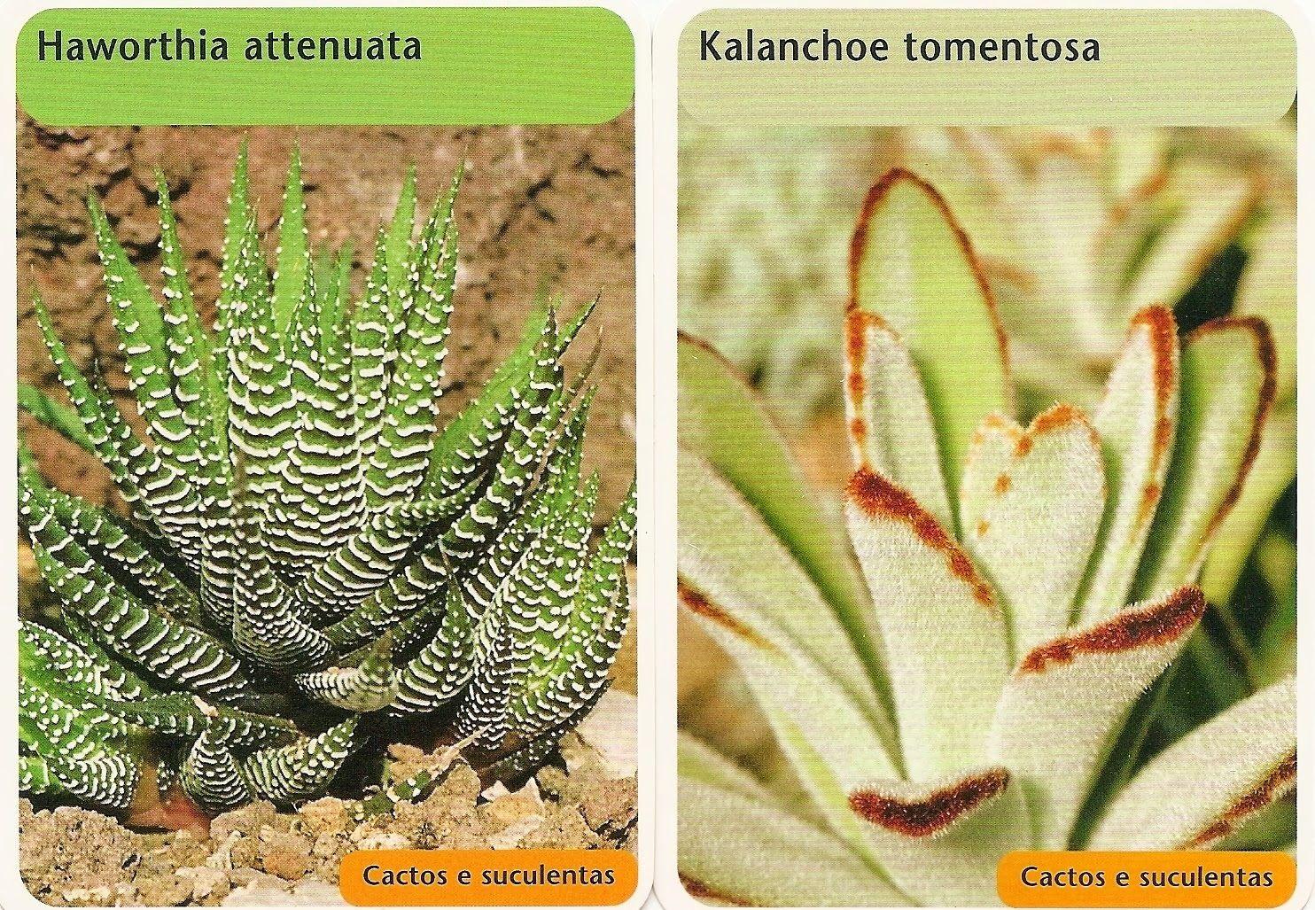 Duas plantas por dia - Haworthia attenuata e Kalanchoe tomentosa, caracteristicas enmodo de cultivo.