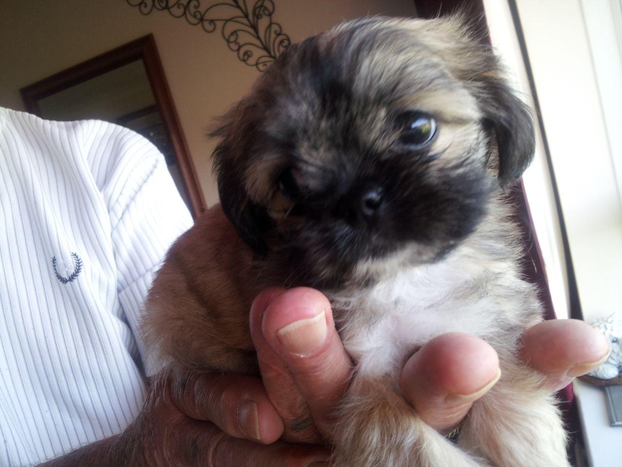 Imperial Shih Tzu X Chihuahua Tiny Boy Shih Tzu Puppy Shih Tzu