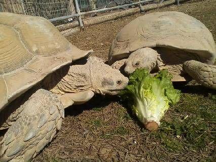 Tortoise Pair, African Sulcata's
