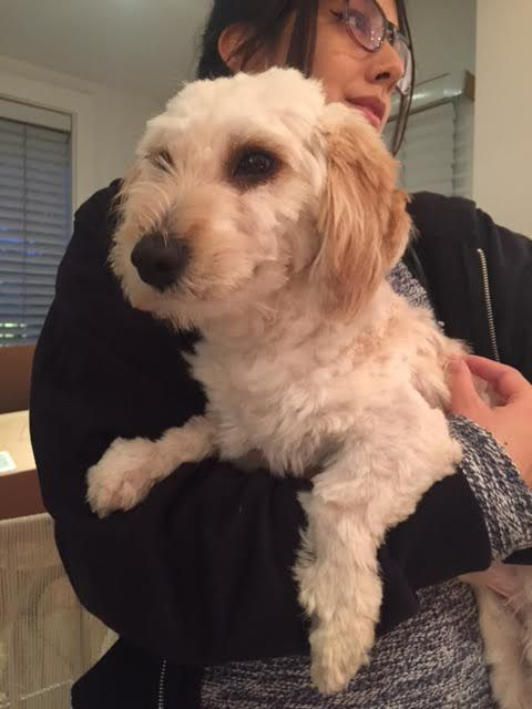 Cockapoo dog for Adoption in West Hollywood, CA. ADN