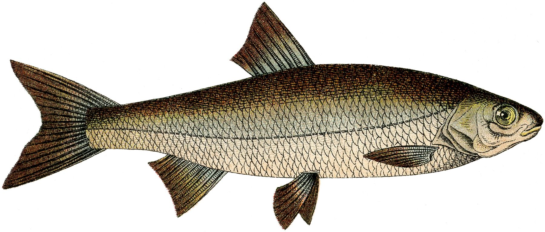 Free Fish Clip Art The Graphics Fairy Fish Clipart