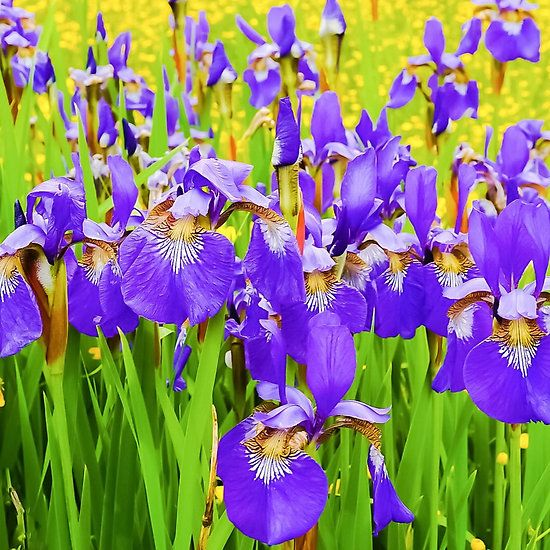 Field Of Purple Iris Blooms By Jacqueline Cooper Flower Lover Add A Pop Of Color To Your Life With This Up Close View Of Purple Iris Iris Flowers Art Pictures