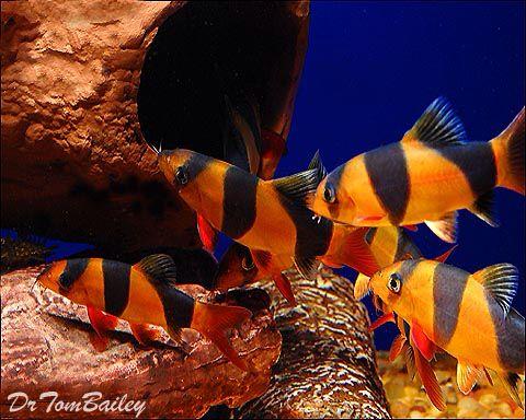 Clown Loach, Featured item  #clown #loach #loaches #fish #petfish