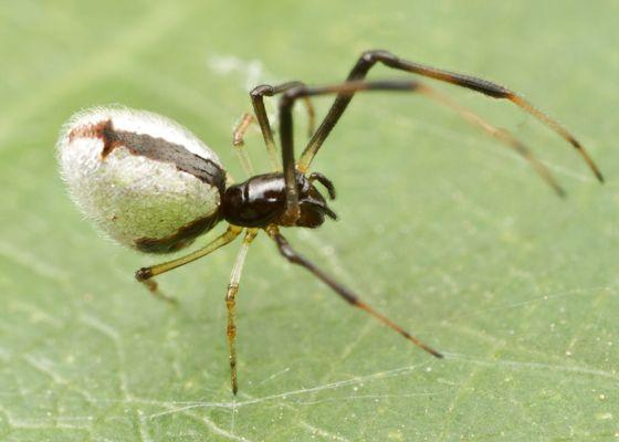 spider - Argyrodes | Spider, Insects, Arachnids