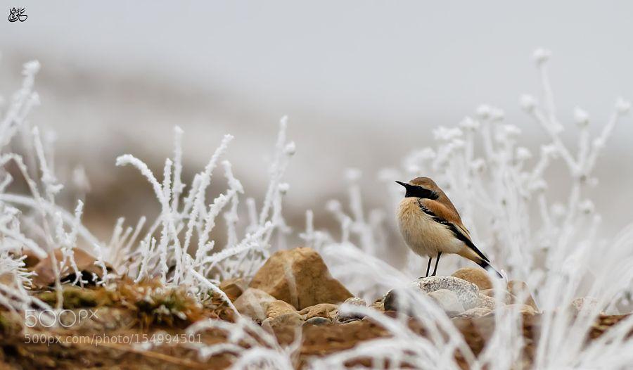 Desert Wheatear by kokodown1 via http://ift.tt/1TPB5b4