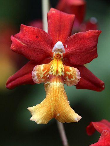 Kimono Orchid Dancing Lady Oncidium