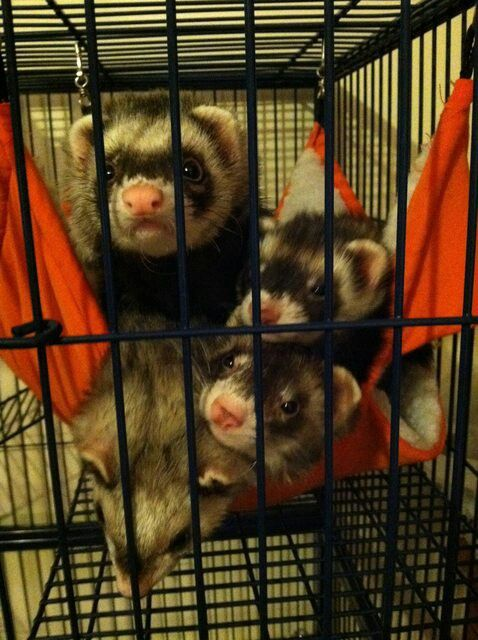 Ferrets From Reddit Ferret