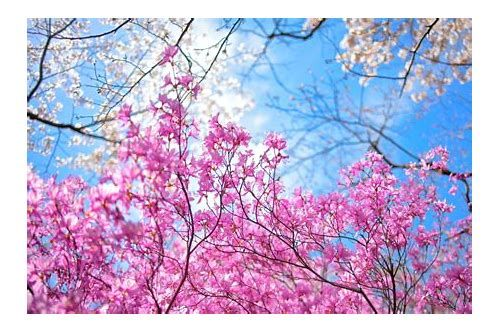 49 Units Of Wallpaper Cantik Cherry Blossom Wallpaper Cherry Blossom Painting Japanese Flowers