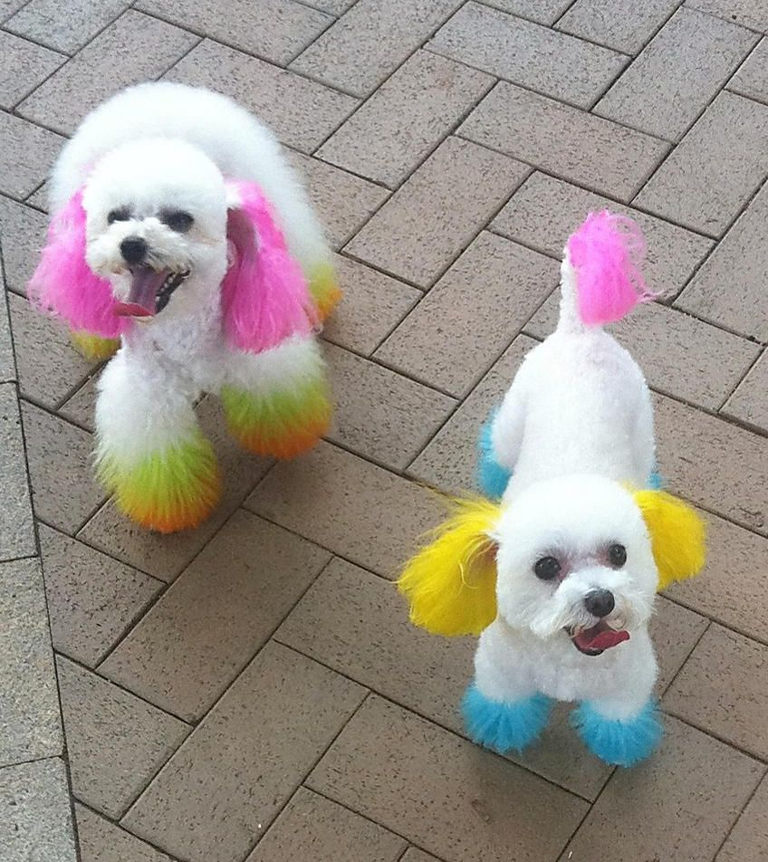 Hong Kong fad of dyeing dogs\' fur could prove fatal: animal ...