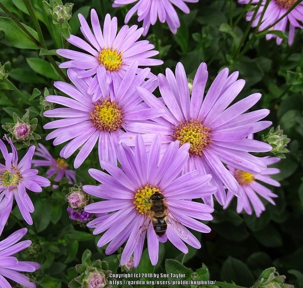 Image Result For Wild Sea Aster Flower July Uk Aster Flower Beautiful Flowers Flowers