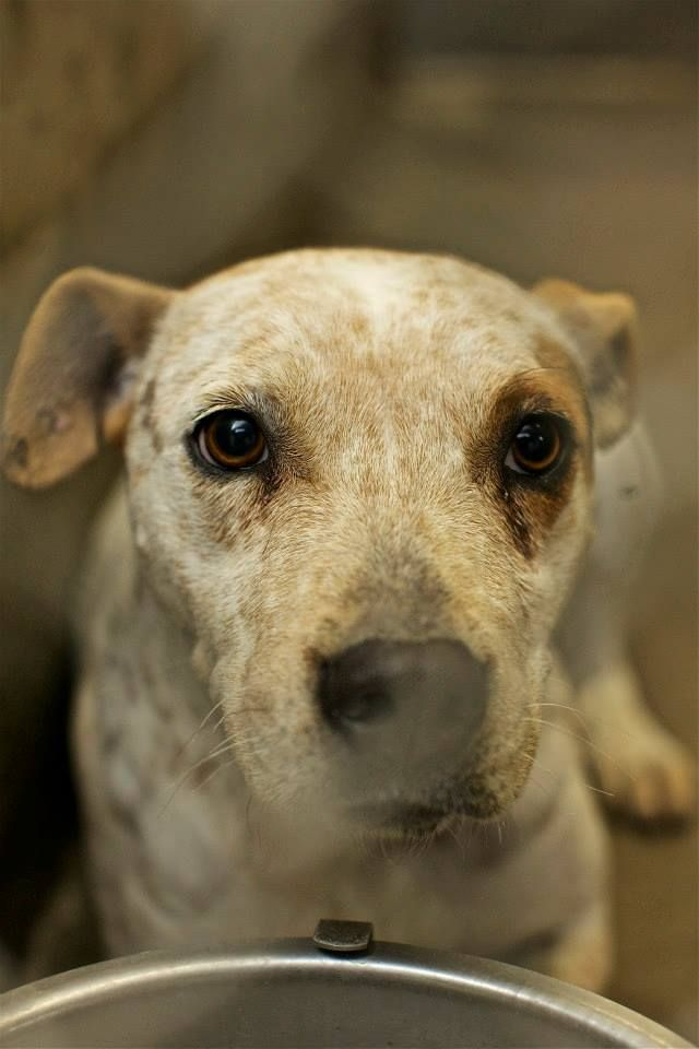 RED HEELER MIX FEMALE 1-2 YEARS OLD KENNEL A30 $51 to ...