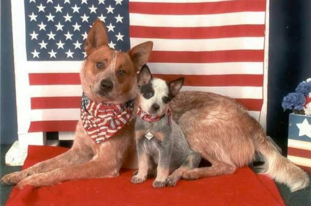 Patriotic Pups Austrailian Cattle Dog Red Heeler Dog Cattle