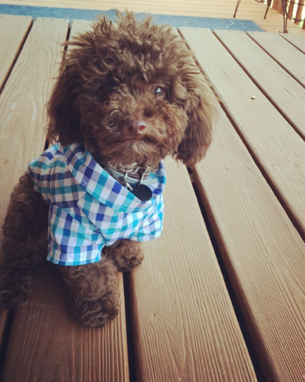 Cute Chocolate Toy Poodle In A Plaid Shirt His Name Is Rocky