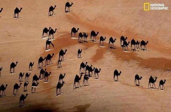 Considerada a melhor fotografia do ano pela National Geografic. O que se vê são as sombras dos camelos.Eles estão nas imagens brancas, abaixo das sombras.
