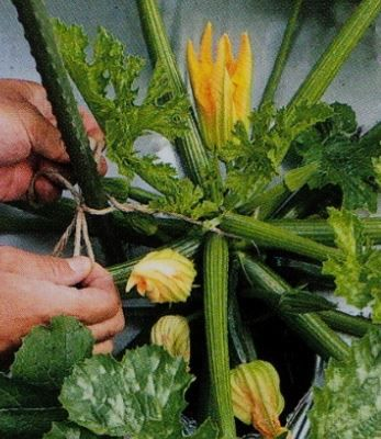 ズッキーニの支柱の立て方 家庭菜園 栽培 野菜作り