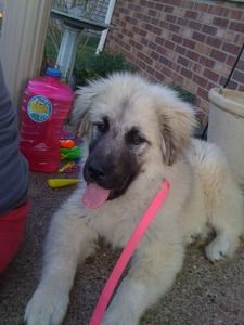 Looks Like A Leonberger To Me But They Say It S Sarplaninac Dog Breed What Re It Is He S Adorable Dogs Dog Breeds Dog Breeder